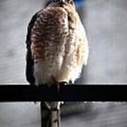 05 Falcon Art Print