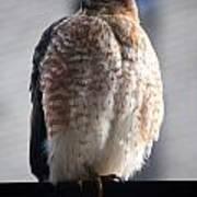 06 Falcon Art Print