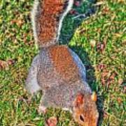 08 Grey Squirrel Sciurus Carolinensis Series Art Print