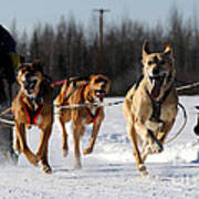 2011 Limited North American Sled Dog Race Art Print
