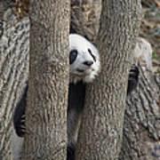 A Baby Panda Plays On A Branch Art Print