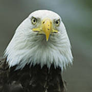 A Close View Of An American Bald Eagle Art Print