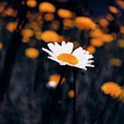 A Daisy Alone Art Print