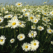 A Field Filled With Daisies In Bloom Art Print