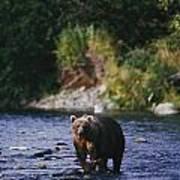 A Kodiak Brown Bear Ursus Middendorfii Art Print by George F. Mobley