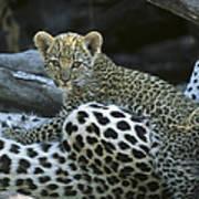 A Leopard  Cub, Panthera Pardus Art Print