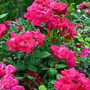 A Rose Is A Rose.... Art Print
