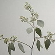 A Seeded Eucalyptus Eucalyptus Cinerea Art Print