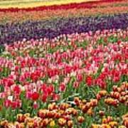 A Tulip Field Art Print