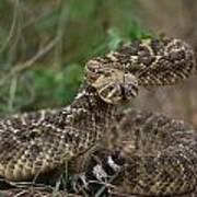 A Western Diamondback Rattlesnake Art Print
