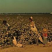 African Americans Picking Cotton Art Print