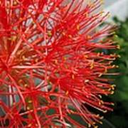 African Blood Lily Or Fireball Lily Art Print