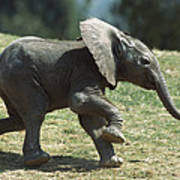 African Elephant Loxodonta Africana Art Print