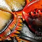 American Lobsters Art Print