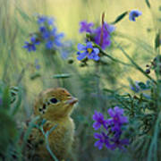 An Attwaters Prairie Chick Surrounded Art Print