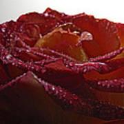 Annaversary Rose II Art Print