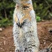 Arctic Ground Squirrel Art Print