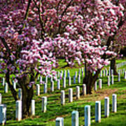Arlington Cherry Trees Art Print