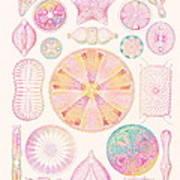 Art Of Diatom Algae (from Ernst Haeckel) Art Print by Mehau Kulyk