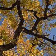 autumn Garry Oak Quercus garryana Klickitat County WA USA Art Print