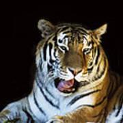 Awaking Tiger Art Print