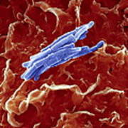 Bacteria Infecting A Macrophage, Sem Art Print