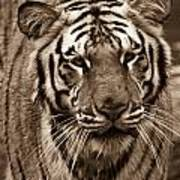 Bengal Tiger On The Prowl Art Print
