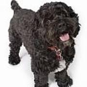 Black Bichon-cocker Spaniel Dog Art Print