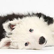 Border Collie Puppy Art Print