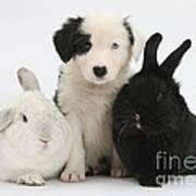 Border Collie Pups With Black Rabbit Art Print