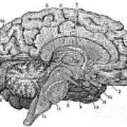 Brain Cross-section Art Print