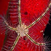 Brittle Star On Sponge, Belize Art Print