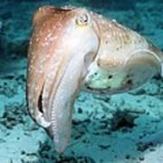 Broadclub Cuttlefish Art Print