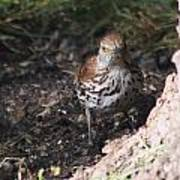 Brown Thrasher Art Print