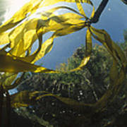 Bull Kelp Underwater Clayoquot Sound Art Print