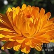Calendula Named Bon-bon Orange Art Print