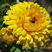 Calendula Named Bon-bon Yellow Art Print