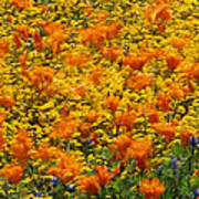 California Poppies And Goldfields Dance Art Print