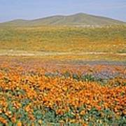 California Poppies Fill A Landscape Art Print