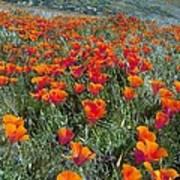 Californian Poppies (eschscholzia) Art Print by Bob Gibbons