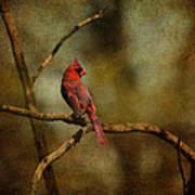 Cardinal IIi Art Print