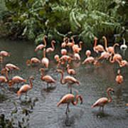 Caribbean Flamingos At The Zoo Art Print