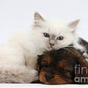 Cavapoo Pup And Blue-point Kitten Art Print