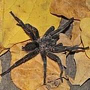 Chaetopelma Olivaceum Art Print