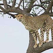 Cheetah Acinonyx Jubatus Female Art Print