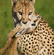 Cheetah Acinonyx Jubatus With Its Kill Art Print