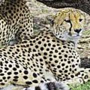 Cheetahs Resting Art Print