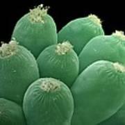 Ciliate Protozoans, Sem Art Print