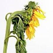 Close Up Of Sunflower. Art Print