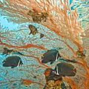 Collare Butterflyfish Art Print